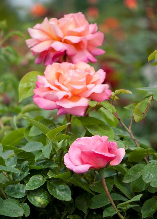 roza1.jpg
